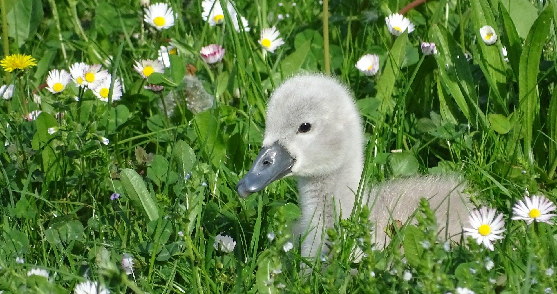 baby swan | ugly duckling | lelijke eendje